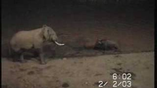elephant vs buffalo.WMV