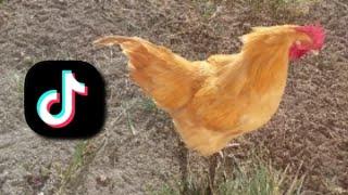 TikTok Tavuk Videoları