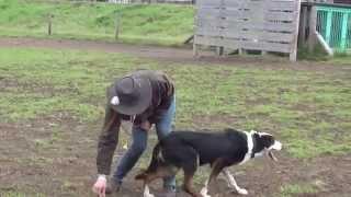 説明 マザー牧場で活躍する牧羊犬.