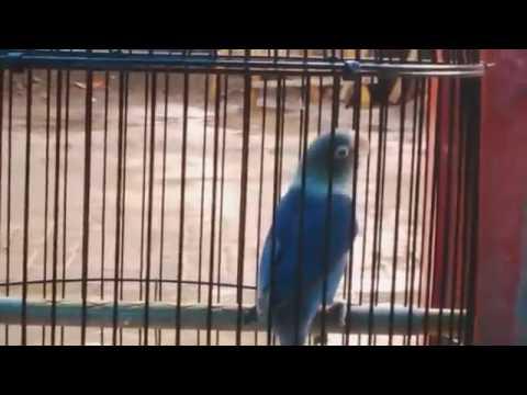Memancing suara ketikan lovebird agar ngekekek panjang