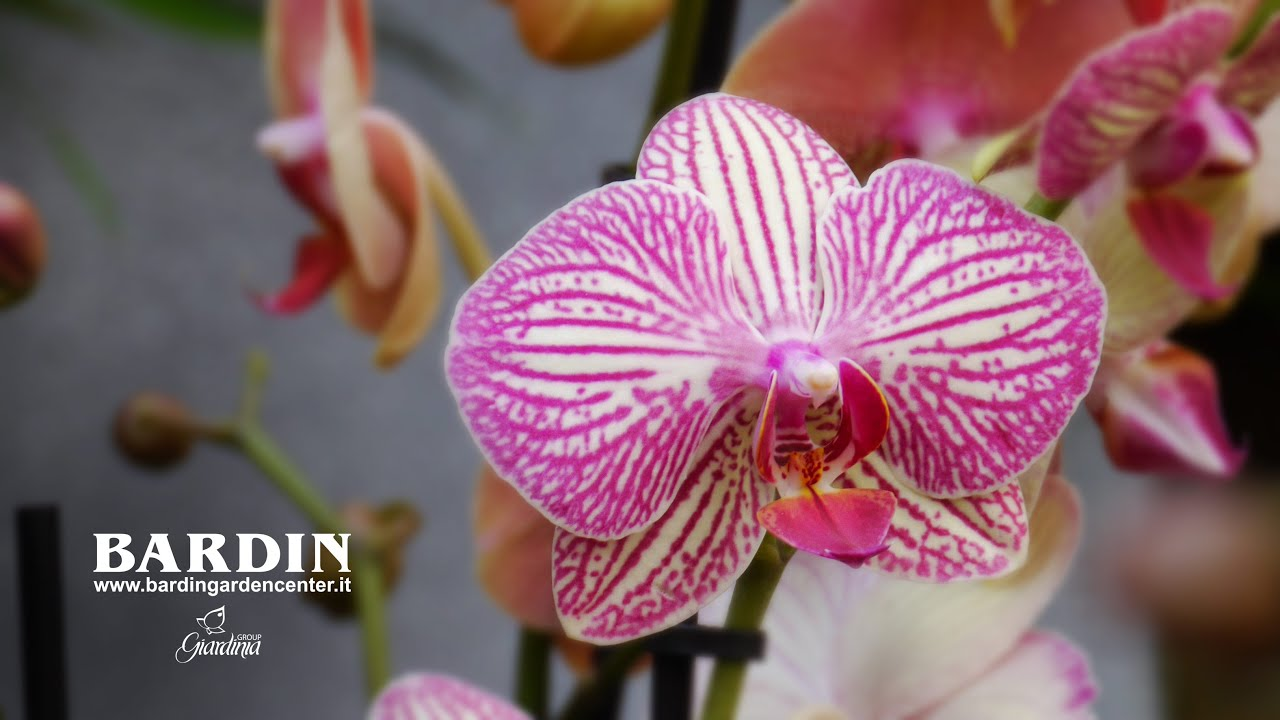 Mostra Delle Orchidee 2016 Bardin Garden Center Orchids Show Youtube