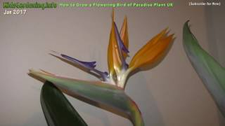 How to Flower a Bird of Paradise Plant - Top Tips Growing UK Over 3 Years