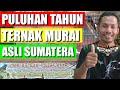 Ternak Burung Murai Batu Asli Sumatera Sistem Poligami  Mp3 - Mp4 Download