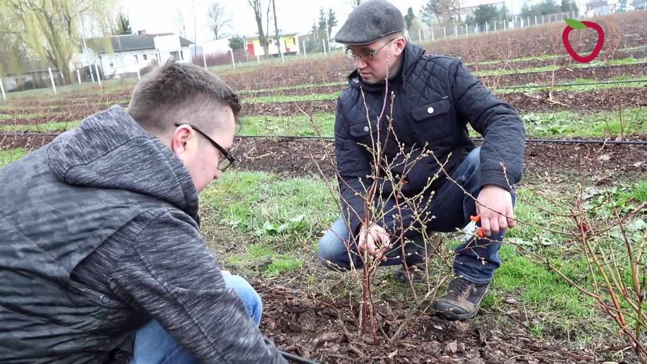 Akademia Uprawy Borówki Cięcie Młodych Krzewów Borówki