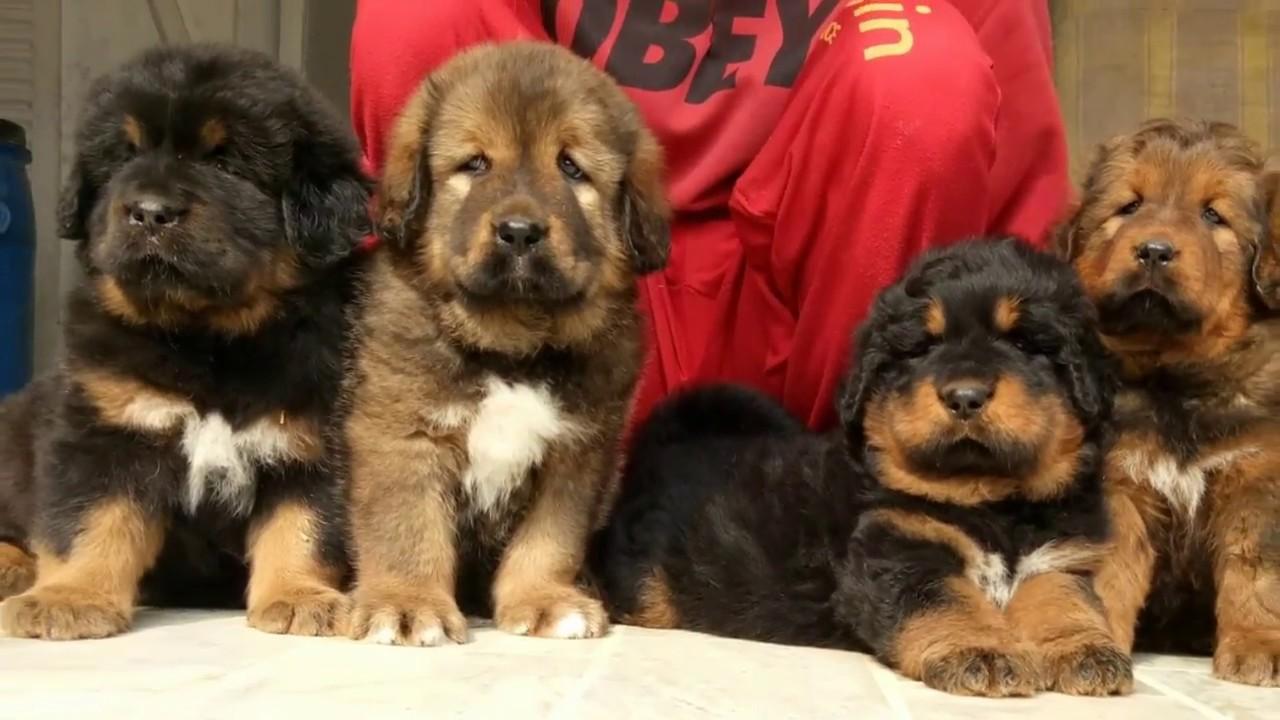 Tibetan mastiff puppies for sale contact +918054342700