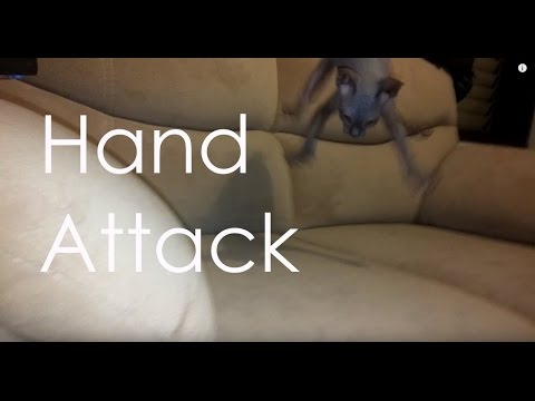 Bartok the Sphynx Cat (Kitten) Hand Attack