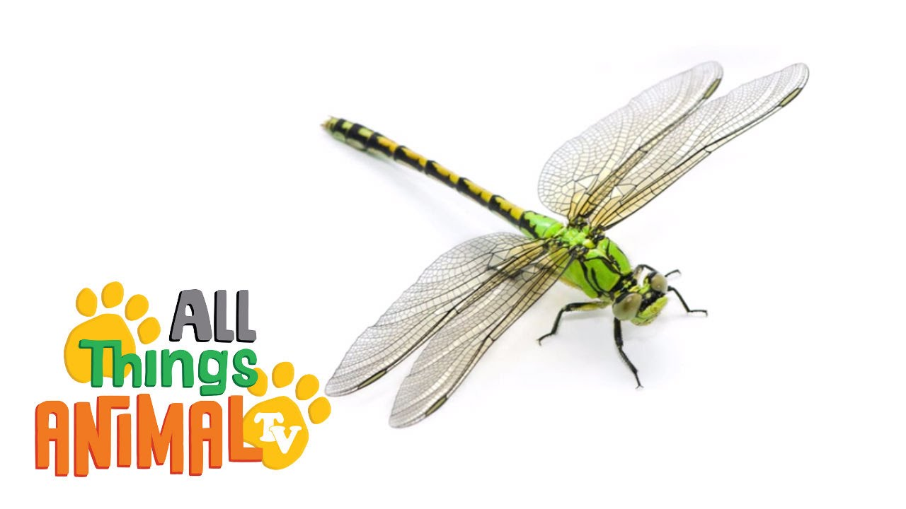 dragonfly animals for children kids videos kindergarten