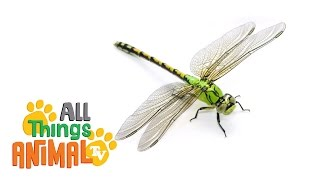 DRAGONFLY | Animals for children. Kids videos. Kindergarten | Preschool learning