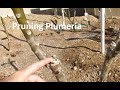 How and Why to Prune Your Plumeria/Frangipani