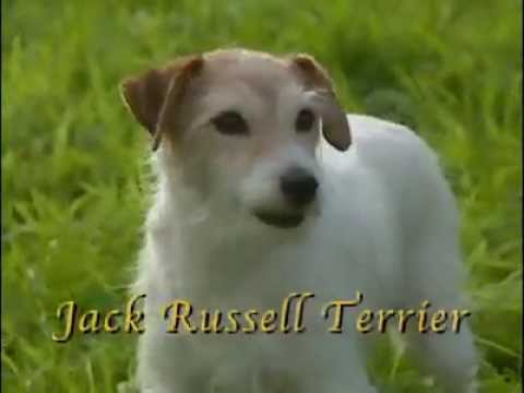 Dog Breeds - Jack russel terrier. Dogs 101 Animal Planet