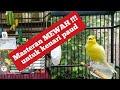 Kenari Gacor Dor Prestasi Durasi Panjang Untuk Masteran Kenari Paud Agar Cepat Bunyi Dan Gacor  Mp3 - Mp4 Download