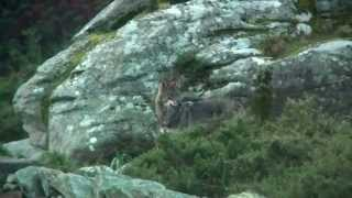 Breve etoloxía do lobo Ibérico na Costa da Morte - Por Francisco Santiago López