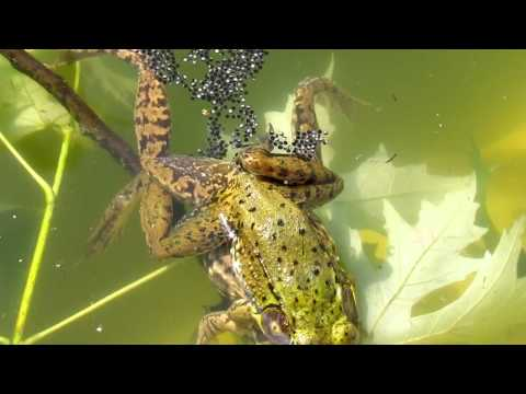 frogs-fertilizing-eggs