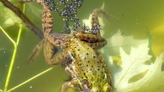 Frogs Fertilizing Eggs