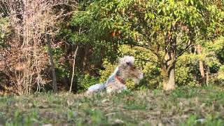 "Wire fox terrier ""Nana"" enjoyed a picnic in the spring mountain. I ..."