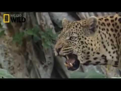 Leopard vs Lion. Who is smarter?