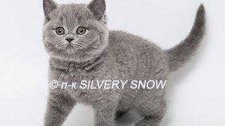 Британский котенок голубого окраса. Phoebe Silvery Snow.