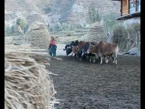 Rice Harvesting & Polishing in Leepa