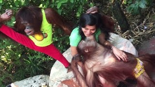 Orang Utan show, Funny Show, the best show in Safari World Pattaya, Bangkok Thailand