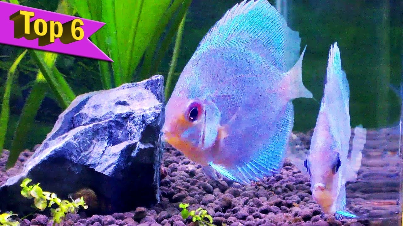 Purple cobalt discus