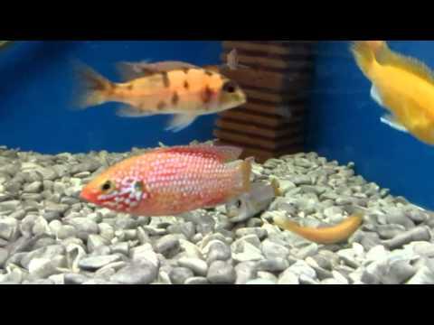 Хромис красавец! Аквариумные рыбки.