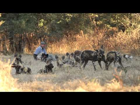 Painted dogs aka African wild dogs close encounter  Mana Pools