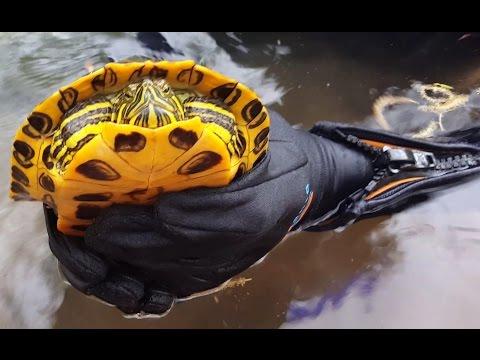 4k-cc.-red-eared-pond-slider-turtle,-catching-pet-reptiles-&-amphibians-nv-ca-az-ut-usa-herping-hd.