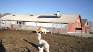 Hunde leg er ikke farlig hund. Polski owczarek podhalanski