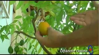 Árvores Frutíferas em Vasos (ex vereador Biza) Orlândia.