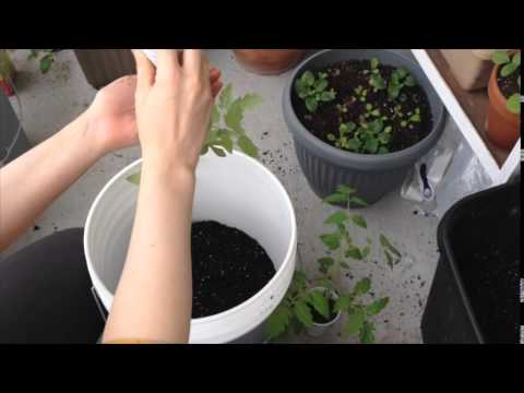 Growing Tomatoes in Shade/Part Sun - Week 10