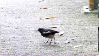 Anting 蟻浴 - Oriental Magpie-Robin 鵲鴝