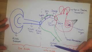 6.Sınıf Fen /  Kulak - Burun - Dil / Duyu Organları 2.Bölüm