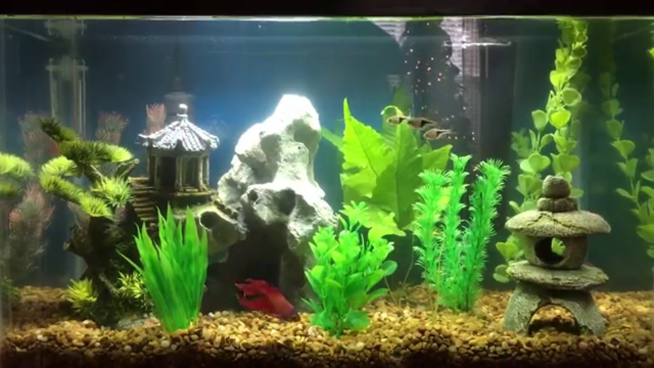 Bob walter the betta fish has three new friends and is for Fish that get along with betta