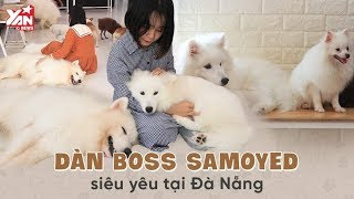 Dàn Boss SAMOYED Siêu Đáng Yêu Tại Đà Nẵng | Yan News