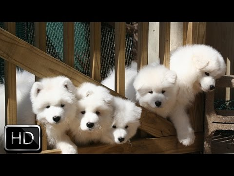 Fluffy Puppies Barking and Playing