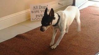 Собаки Вытирают лапы перед входом! Подборка!