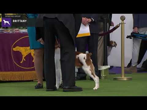 Brittanys | Breed Judging 2020