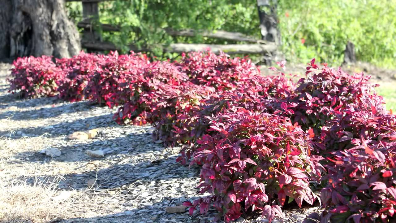 Blush Nandina Is A Low Shrub With Red New Growth For Most