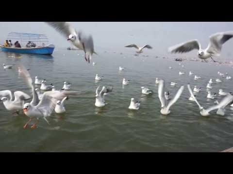 Siberian white crane