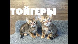 Как и где купить тойгера? Котёнок тойгер - питомник тойгеров в Москве