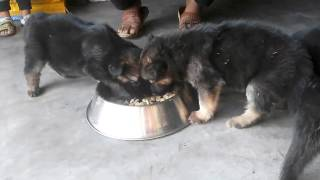 Show Quality German Shepherd Puppies Available For Sale