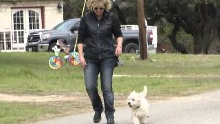 Lucy-10 Month Old-west Highland White Terrier-basic Obedience-catherine Muffat