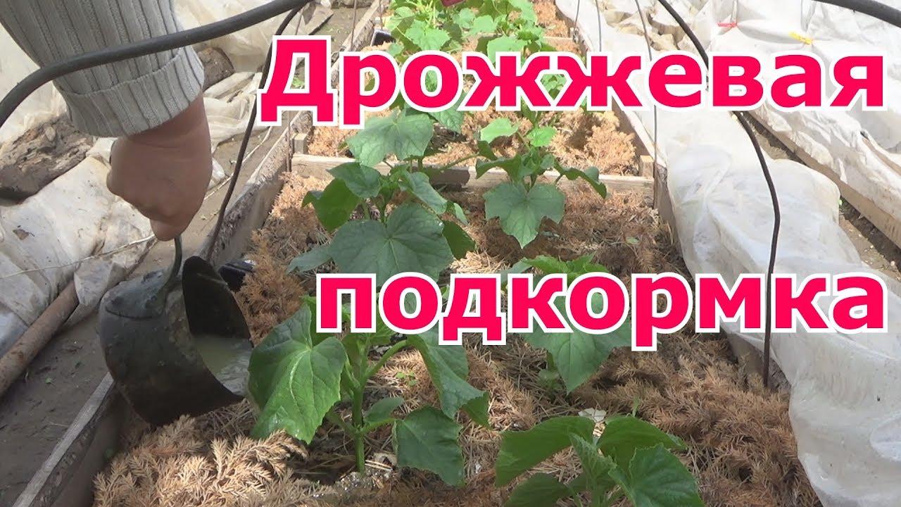 Подкормка перца народными средствами в теплице и открытом грунте