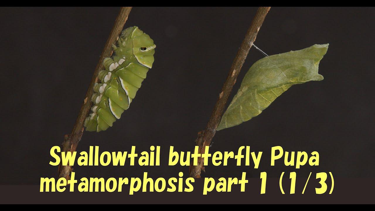 Swallowtail butterfly Pupa metamorphosis part 1 (1/3 ...