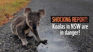 Koalas in NSW are losing their homes | WWF-Australia thumbnail