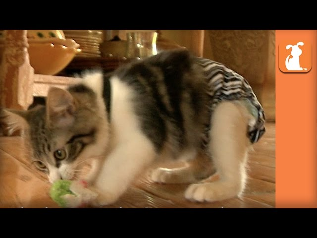 Special Needs Manx Kitten Finds His Forever Home In Arizona - Bebe's Roadtrip