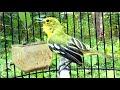 Cipow Paling Gacor Gak Ada Tandingnya Burung Sirtu Mania Tidak Kenal Takut  Mp3 - Mp4 Download