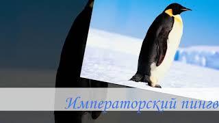 Императорский пингвин.Документальный фильм.