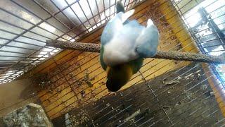 AMPUH TERBUKTI!!!LOVEBIRD KU LANGSUNG GESTANG, setelah di puterin audio mp3 lb kawin