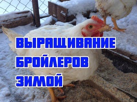ВЫРАЩИВАНИЕ БРОЙЛЕРОВ ЗИМОЙ (КОББ - 500)